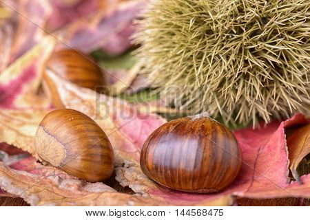 chestnut and curly chestnut on red leaf