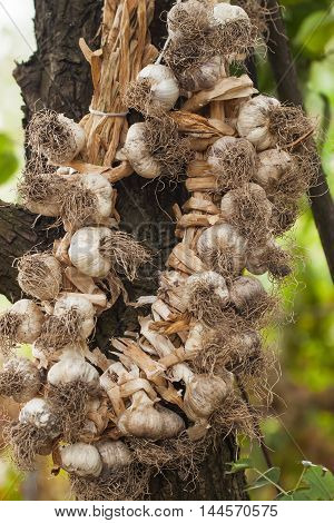 Fresh harvested of braided garlic on rustic background. Weave garlic into the braid - optimal conditions for storing garlic at home .
