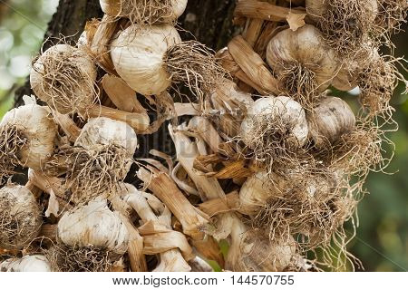 Organic garlic braided in a pigtail for drying and storage, weighs on the country site