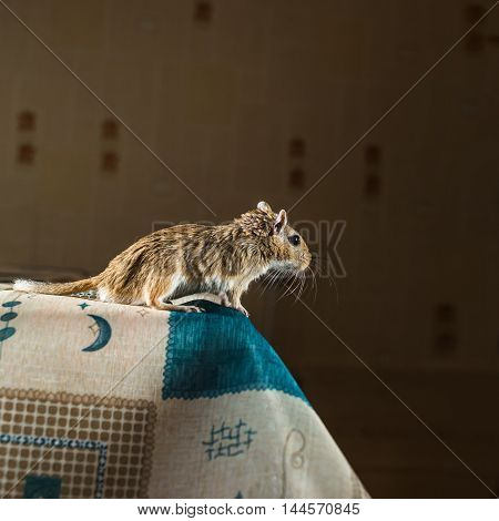 Mongolian gerbil mouse standing on the edge of the table.