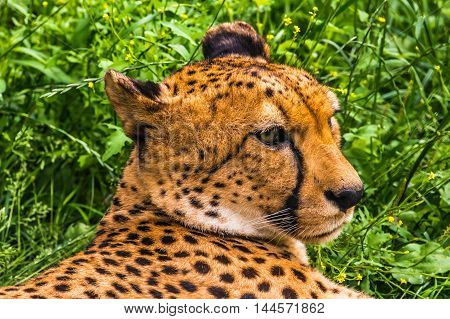 Cheetah in nature isolated on green background