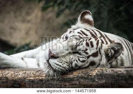 White tiger lying on the wooden log in ZOO
