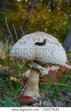 Small black slug on the top of Macrolepiota mushroom in autumn oak forest