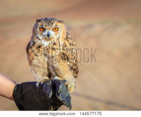 Portrait of Desert Eagle Owl on a trainer's glove