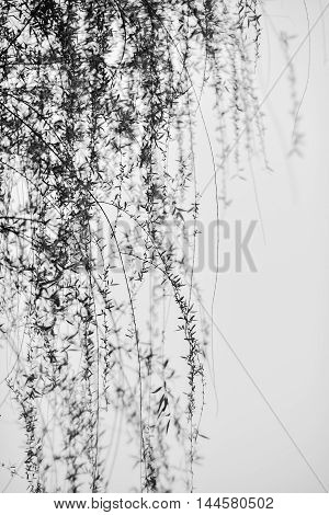 Many thin and long branches of willow dancing in breeze. In black and white.