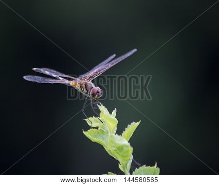 Close up of a dragonfly crouching on tip of a green plant with dark background.