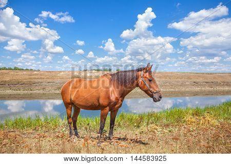 beautiful young brown horse grazing near river