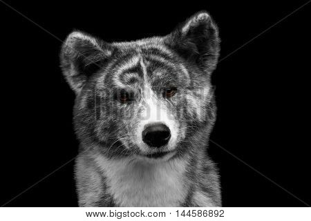Closeup portrait of Curious face Akita inu Dog on Isolated Black Background