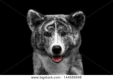 Closeup portrait of Adorable Akita inu Dog Smiling with tongue on Isolated Black Background, Front view