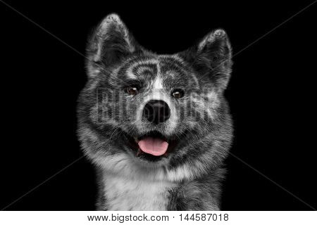 Closeup portrait of Curious face Akita inu Dog Smiling on Isolated Black Background