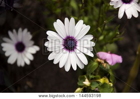 white and violet flower isolated in the garden