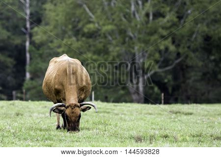 Brown horned cow grazing head-on view with blank area to the right