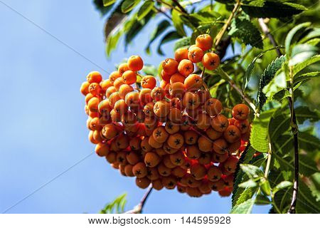 Cluster of mountain ash berries. Close up image of a cluster of berries on a Mountain Ash tree.