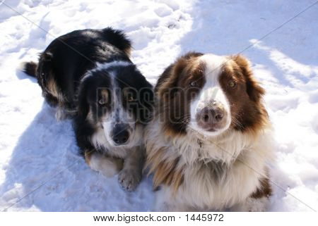 Two Sheep Dogs