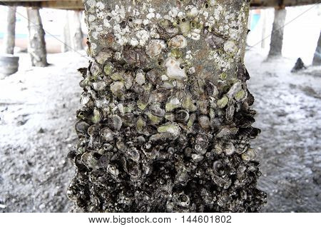 a lot of oyster shell solidly stick with cement column under the sea port