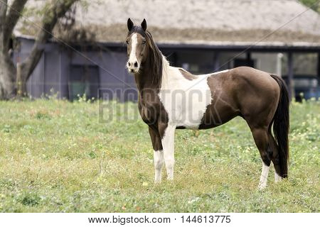 Paint mare standing sideways in a pasture
