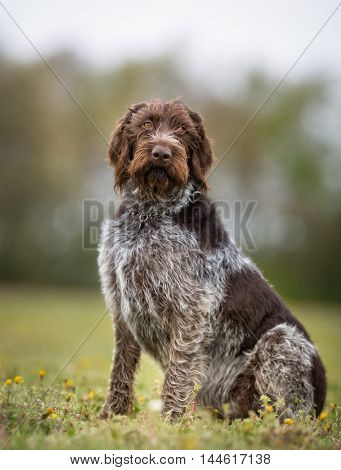 German Wirehaired Pointer Dog Outdoors In Nature