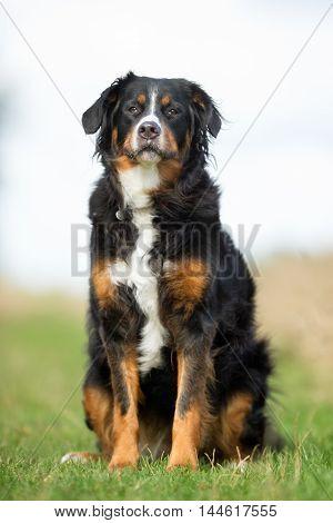 Berner Sennenhund Dog