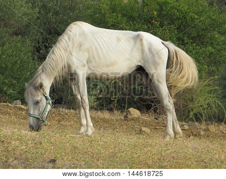 white undernourished horse in olive grove in Andalusia