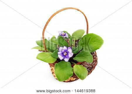 African violet saintpaulia arranged in a basket isolated on white background