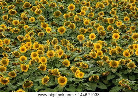 lanscape with sunflower levels of sun in summer