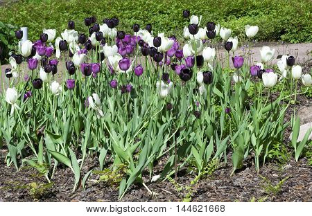 Flowerbed With Purple, White And Black Tulips