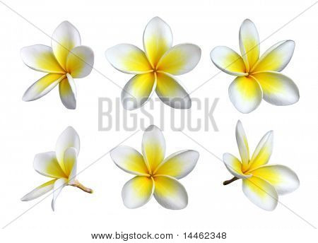 Set of six frangipanis flowers on white background
