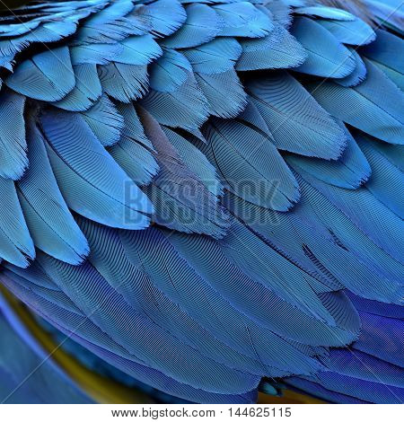 Exotic blue background of puffy bird feathers the fascination of Blue and Gold macaw bird's wing texture