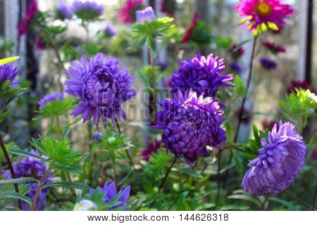 Purple asters in the flower bed in summer.