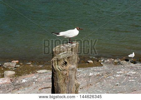 Seagull On A Tree Stump
