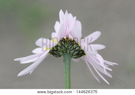Fasciation of pink camomile flower. Summer. Flora. Nature.
