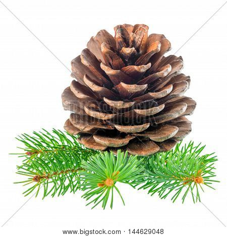 beautiful cedar pine cone and needles is isolated on white background