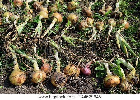 ripe onion lies drying in the garden