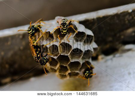 closeup on a hive of wasps background