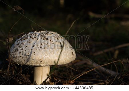 mushrooms in a forest glade during sunset