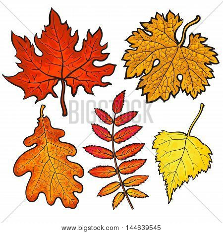 Set of autumn leaves, sketch style vector illustration isolated on white background. Red, yellow and orange maple, aspen, oak and rowan leaves in the fall season.