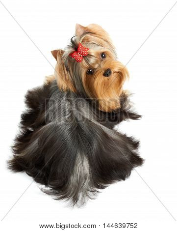 Beautiful Yorkshire Terrier of show class with perfectly groomed long hair and red bow. It lies on white isolated background.