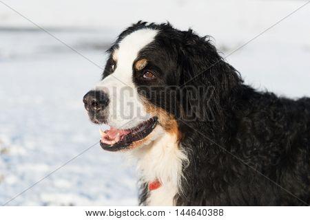 Portrait of Berner Sennenhund outdoor in snow