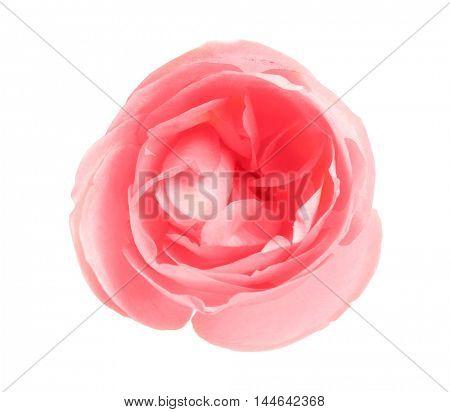 Beautiful rose bud, isolated on white