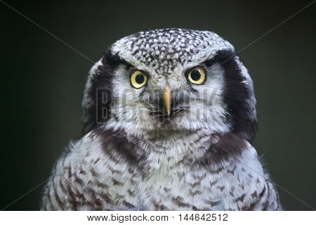 Northern hawk-owl (Surnia ulula). Wildlife bird.