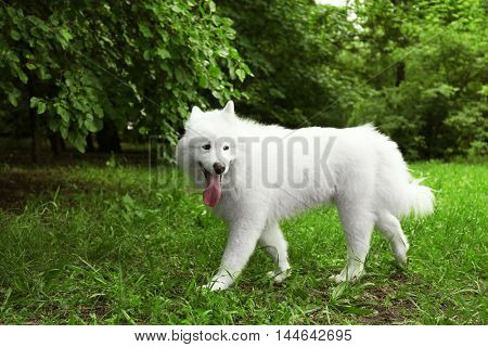 Fluffy samoyed dog in green park