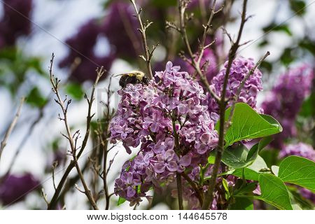 Bumblebee working on a lilac flower outdoor