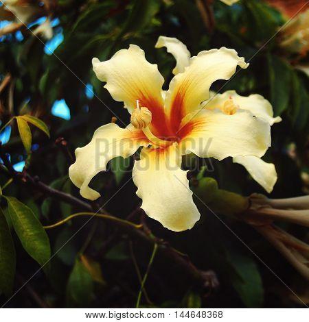 Creamy Yellow Lily-like Flower. Aged Photo. Ceiba.