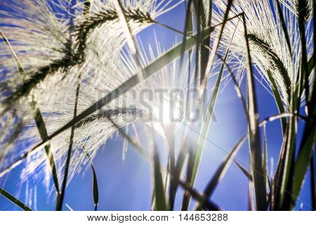 Beauty spikelets grass in bright sunlight at blue sky background