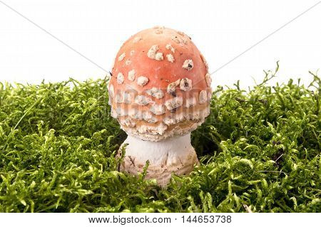 Amanita mushroom on a green hummock isolated on white background