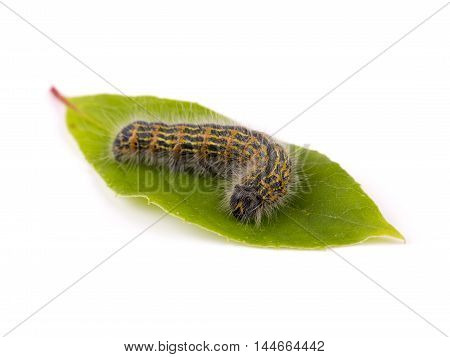 hairy caterpillar worm on green leaf. isolated on white