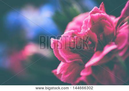 Sweet william flower or red dianthus bartatus close-up