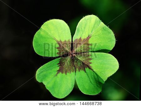 clover leaf with four petals - a symbol of good luck
