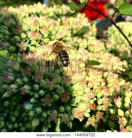 Honey bee on a sedum flower in closeup