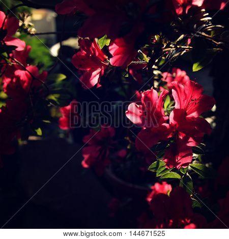 Branch Of Pink Rhododendron. Flowering Bush.
